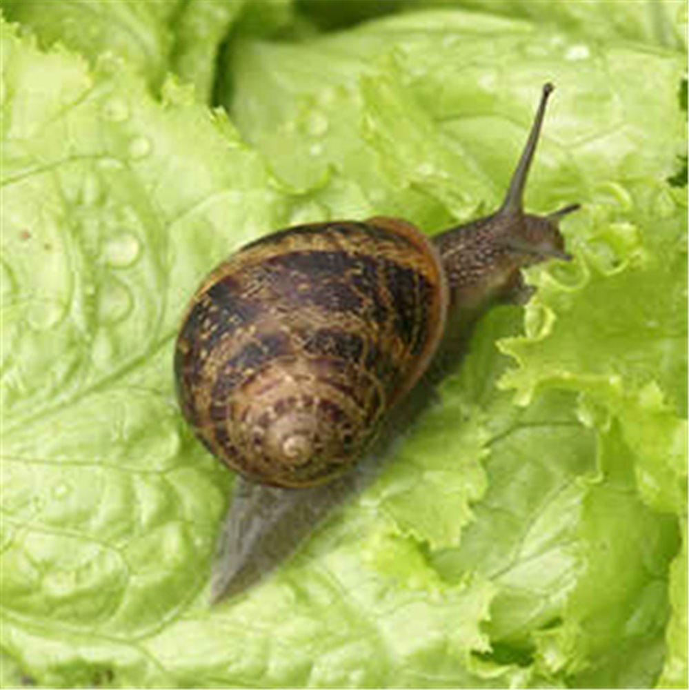 proteger-le-jardin-potager-des-limaces-et-escargots