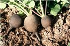 Graines de radis noir gros rond d´hiver